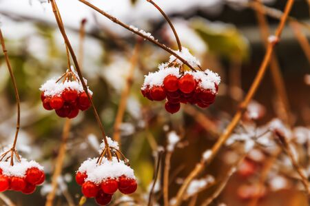 Red berries of viburnum. The first snow fell.