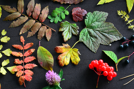 Pattern on a dark background of leaves, flowers and berries. Autumn still-life. Leaves from different trees and bushes.