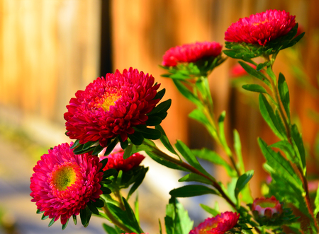 Bright red autumn asters. Flowers on a yellow background of wooden gates. Last warm days