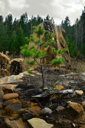 Small pine tree grew on the stones. Autumn landscape on a cloudy day. Vertical photo. 스톡 콘텐츠