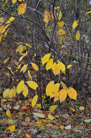 Autumn collection. Landscape. Bird cherry bush with yellow leaves. Vertical photo