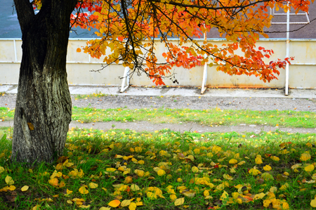 Autumn design in the city. Tree in the park with beautiful autumn leaves. Fallen leaves on the green grass. Near the stadium