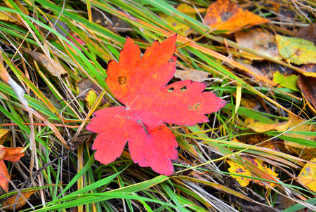 Red autumn leaf On the background of autumn grass. Beautiful decay