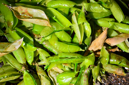 The matured pods of peas. Husk. Autumn still-life. Preparing food. 스톡 콘텐츠