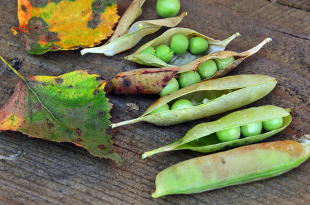 Pods of ripe leaves with autumn leaves on wooden background. Autumn still-life. Birch leaves.