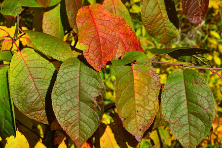 Colored autumn leaves of bird cherry. Backgrounds. 스톡 콘텐츠
