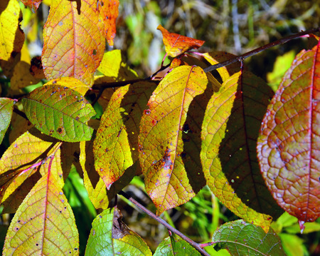 Colored autumn leaves of bird cherry. Backgrounds. Clear sunny day. 스톡 콘텐츠