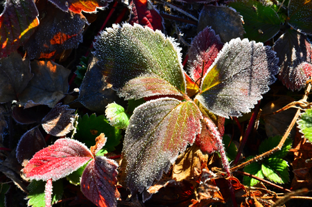 Colored autumn strawberry leaves. Morning frost. Frosted Close up. 스톡 콘텐츠