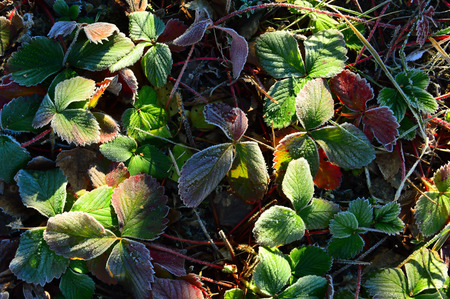 Colorful autumn strawberry leaves. Frosted Morning frost.