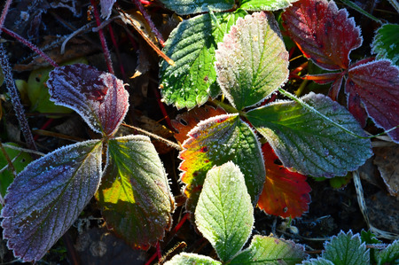 Colored strawberry leaves. Morning frost. Frosted Close up. 스톡 콘텐츠