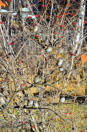 Sparrows sitting on the branches of trees. With viburnum berries. Autumn landscape.