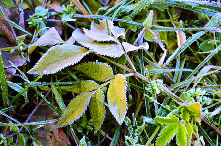 Autumn frosts. Frost on the green leaves of the plant. Winter is coming.