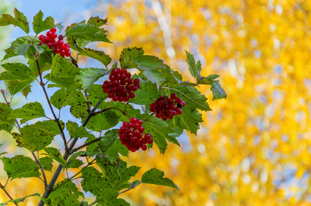 Autumn yellow birch leaves. Still green foliage of the viburnum bush. Clear sunny day.