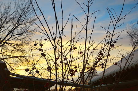 Birds on tree branches. On branches of viburnum. At sunset. Winter landscape
