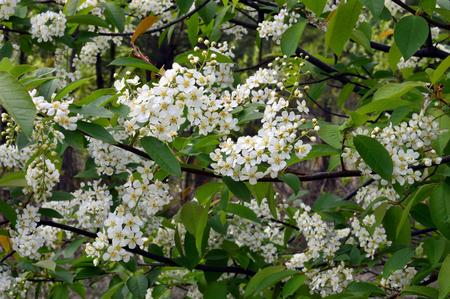 Flowering shrubs Siberian cherry. The spring month of May. (lat. Prunus padus)