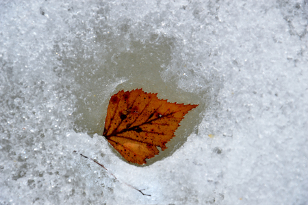 Yellow birch leaf thawed in the spring Autumn and spring met. In the loose ice is a sprig of birch. Imagens