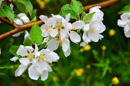 After the rain. Delicate flowers of apple. Macro. Imagens