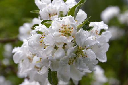 White Apple flowers. Branch of a flowering tree Large drops of rain. Its spring. 스톡 콘텐츠
