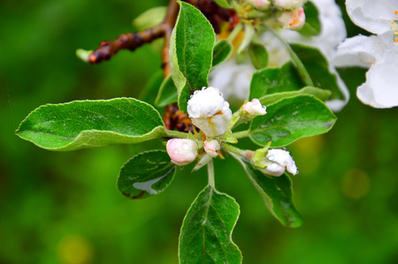 White buds of Apple flowers. A branch of a flowering Apple tree after the rain. Large raindrops on the flower buds. Its spring.