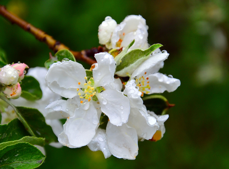 Apple blossom. A branch of a flowering apple tree on a dark background. Raindrops on the petals. It`s spring.