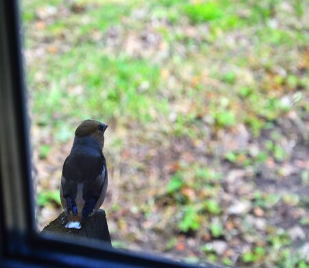 Bird grosbeak bird sits Photo from the window.