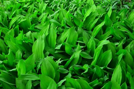 Green background of leaves of the Valley (lat. Convallaria majalis).