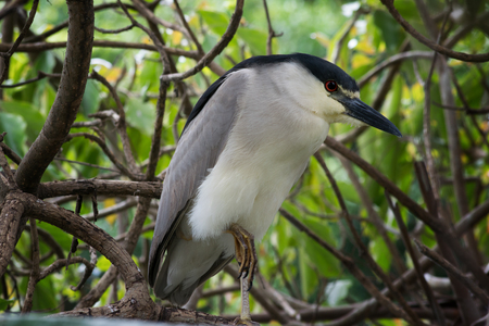 stocky: black-crowned night-heron (Nycticorax nictycorax) sitting on a tree branch