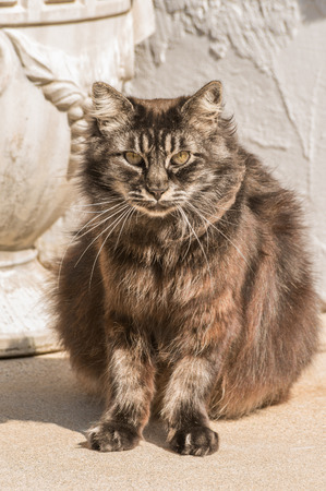 fuzzy old black Siberian cat sitting outdoor and looking straight Stock fotó