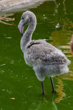 fuzzy: fuzzy baby flamingo with serious gaze staying in water Stock Photo