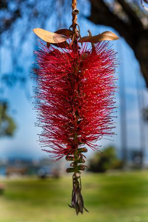 vivid red flower weeping lemon bottlebrush faux lantern Stock Photo