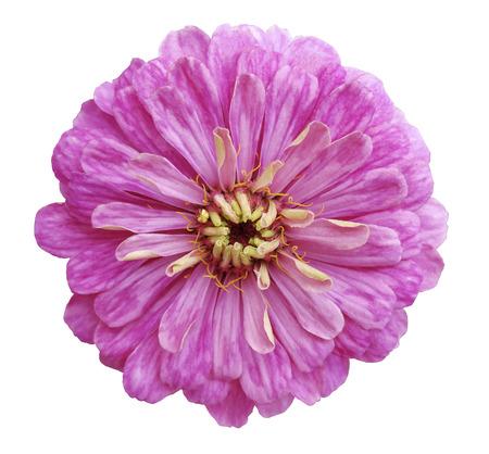 Rosa Blume, Weißen Hintergrund Isoliert Lizenzfreie Fotos, Bilder ...