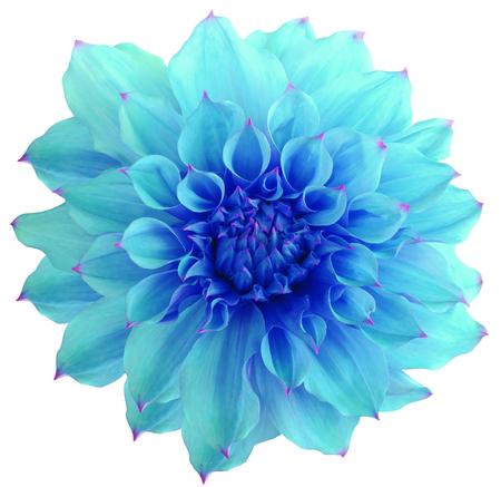 azul turqueza: Flor de la dalia, aislado fondo blanco Foto de archivo