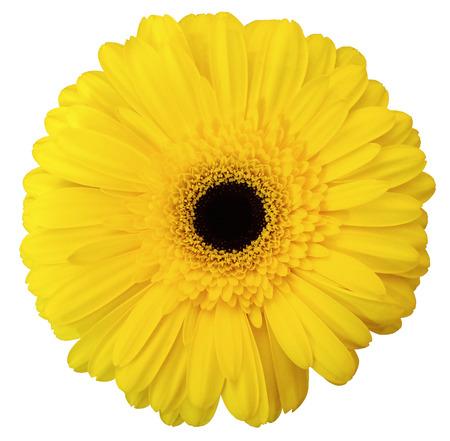 yellow gerbera isolated on: yellow gerbera flower, white isolated background Stock Photo