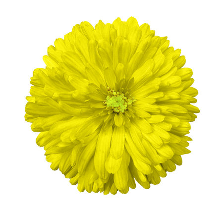 Yellow flower white isolated background with clipping path stock stock photo yellow flower white isolated background with clipping path closeup no shadows green center nature aster mightylinksfo