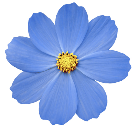 Blue flower primula white isolated background with clipping stock blue flower primula white isolated background with clipping path closeup no shadows mightylinksfo
