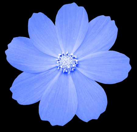 blue flower Primula.  the black isolated background with clipping path. Closeup.  no shadows. white center. Nature. Stock Photo