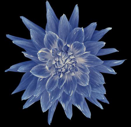 Dahlia blue white flower black background isolated with clipping dahlia blue white flower black background isolated with clipping path closeup with mightylinksfo