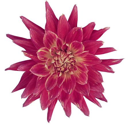 Dahlia Rot-gelbe Blume, Weißen Hintergrund Mit Clipping-Pfad ...