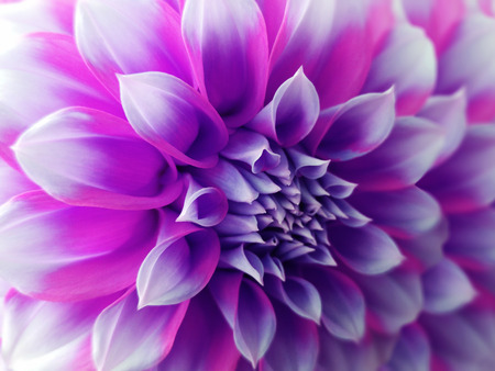 dahlia  flower,  purple-blue-pink.  Closeup.  beautiful dahlia. side view flower, the far background is blurred, for design. Nature.