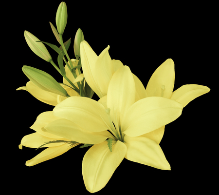 lilies light-yellow flowers,  on a black background,  isolated  with clipping path. beautiful bouquet of lilies with green leaves,  for design. Closeup. Nature.