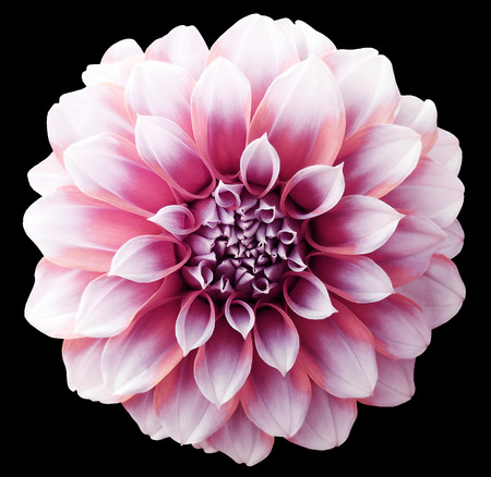 Dahlia red-purple  flower ,variegated flower, black background isolated  with clipping path. Closeup. with no shadows. for design. Stock Photo