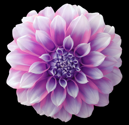 Dahlia  flower purple,variegated flower, black background isolated  with clipping path. Closeup. with no shadows. for design.