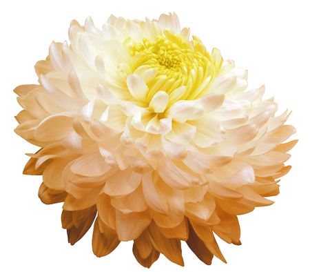 white-orange  chrysanthemum  flower, yellow center. white background isolated  with clipping path.  Closeup. with no shadows. for design.