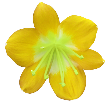 Lily yellow flower isolated with clipping path on a white stock lily yellow flower isolated with clipping path on a white background green pistils mightylinksfo