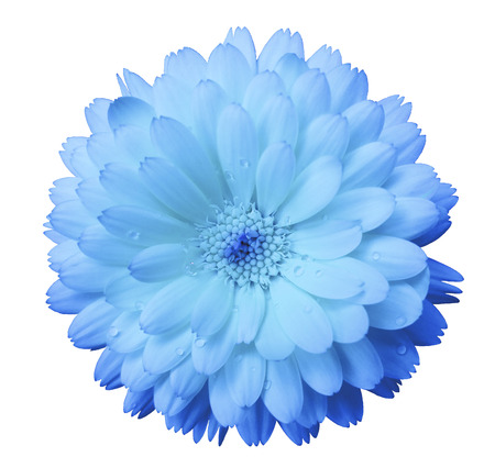 light blue, gentle Flower calendula, blue  petals  with dew, white isolated background