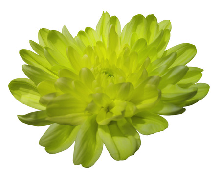 yellow-green  chrysanthemum flower. white isolated background