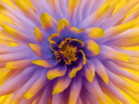 Dahlia  flower  purple. Petals colored rays. Closeup.  Beautiful dahlia  in bloom  for design. Nature.
