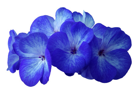 pied: Flower blue geranium. Isolated on a white background. Close-up. without shadows. For design. Nature.