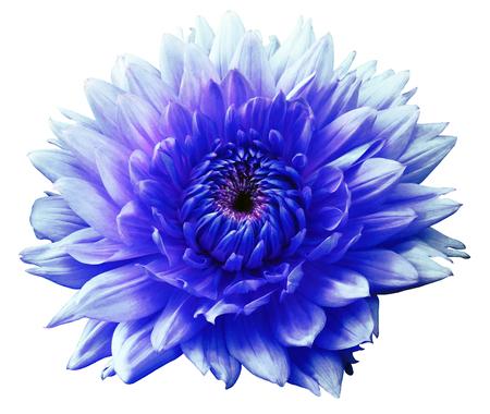 azul turqueza: Flores azul-turquesa dalia abigarradas. Aislado en un fondo blanco. De cerca. sin sombras. Para el diseño.