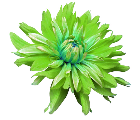 opens: big green flower opens on a white  background isolated